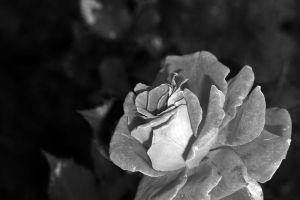 BW rose by dontbemad