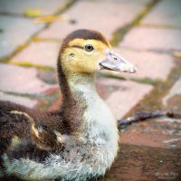 Duckie by WouterPera