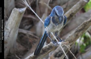 Florida Scrubjay Stock 3 by Cassy-Blue