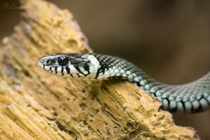 Grass Snake by Enalla