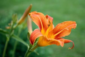 Tiger Lilies by Geforce92