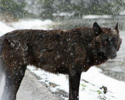 Yellowstone wolf by neaters2000