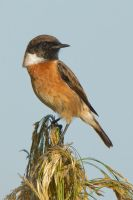 Stonechat by Jamie-MacArthur