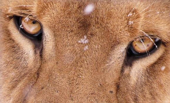 Lion Stock 38: Lion Eyes by HOTNStock