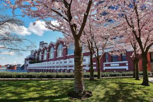 Cherry Trees in Downtown Vancouver by jonathonraist
