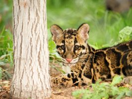 Baby Clouded Leopard Cub  Resting by Squiddgee7734