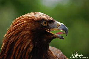 golden eagle by PhotosThyria