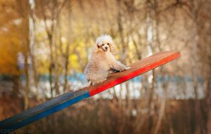 Small poodle by Ksuksa-Raykova