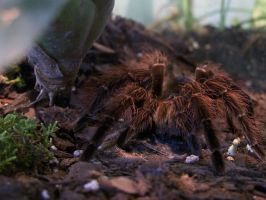 tarantula2 by ibartley
