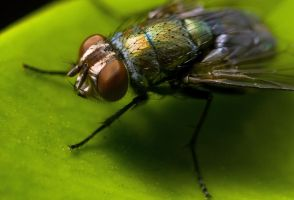 common housefly 020 by otas32