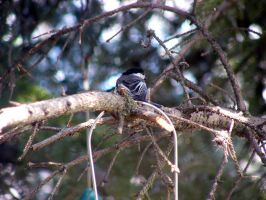 Black-capped chickadee by Stygma