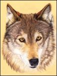 Wolf by Morrighan-Wolf