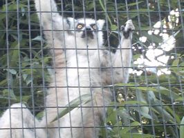 'Nother Ring Tailed Lemur by Penguinator24