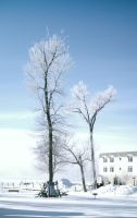 Long Tall Tree In White by brokenrose80