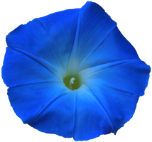 Bright Blue Morning Glory PNG by Thy-Darkest-Hour