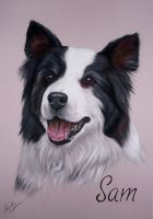Border Collie- 'Sam' by lalabellexx