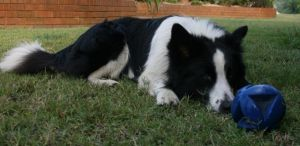 Border Collie2 by newdystock