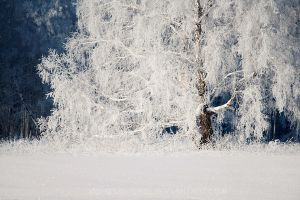 Birch by konstantingl