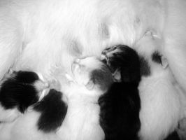 toni kittens black white by analovecatdog