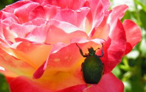 beetle hanging on a rose by bwall49
