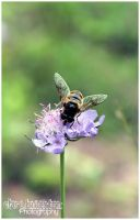 Genus Eristalis by Clerdy