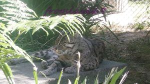 fishing cat by frogslave69