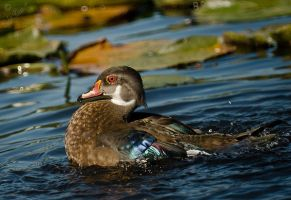 Wood Duck by Violet-Kleinert