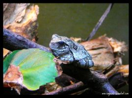 Grey Tree Frog by caybeach