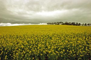 Field of yellow by H6RM