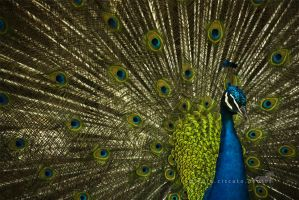 ..:: Peacock ::.. by firegold