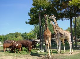 Here are the giraffes by st2wok