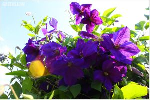 Clematis by GreenSlOw