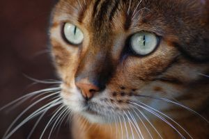 Eyes of Bengal by calllmaster
