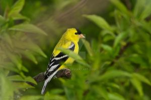 American Goldfinch Portrait by nivaun