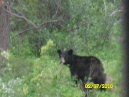 Young black bear by 95JEH