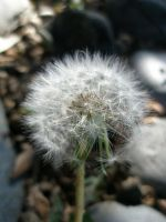 Dandelion. by BaronOfTheWillows
