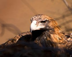 POISONED WEDGE TAILED EAGLE by simoneyvette