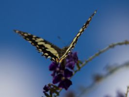 Butterfly 01 by ShannonIWalters
