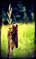 Brown Locust by Cryel