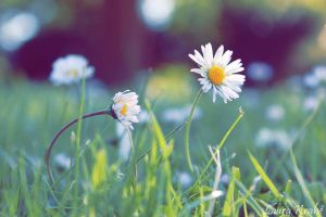 Daisies by LouCrow