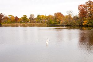 Autumn Leaves and Swans by elvaniel