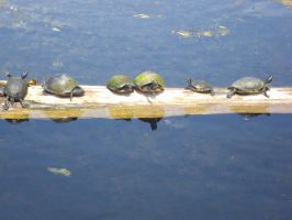 Turtles 001 by SineSpesStock