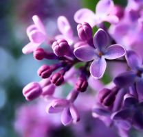 lilac 2 by lauren85