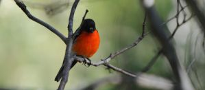Flame Robin.1 by DPasschier