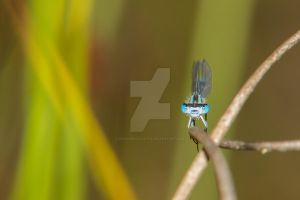 Damselfly - Are You Looking At Me? by CryogenicCactus