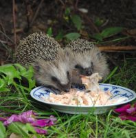 Hedgehog by Annefre