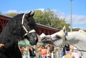 Friesian and Arabian horses 2 by Linay-stock