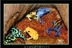 Poison Dart Frogs I by mahu54
