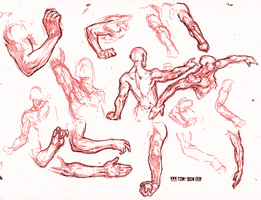 Forearm studies by paranthropus