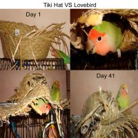 Lovebird Vs Tiki Hat by kittenwithawhip89